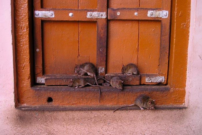 мыши лезут в дом
