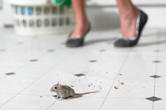 мышь перебегает дорогу