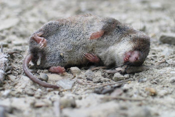 мышь на улице