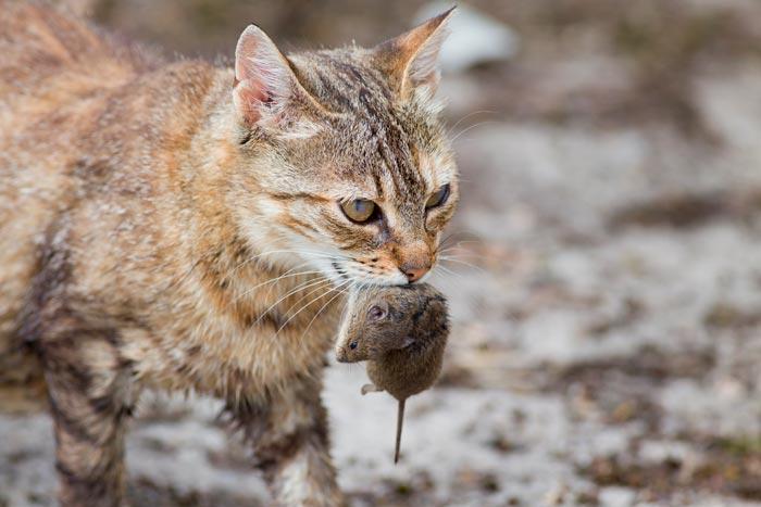кошка несет мышку