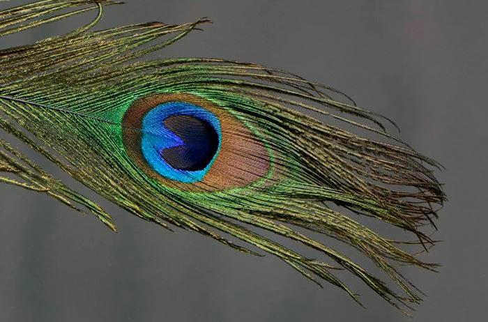 перо павлина