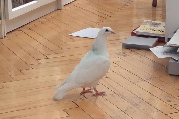 голубь в доме