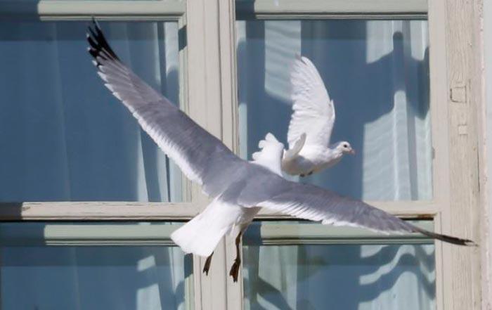 белые голуби за окном