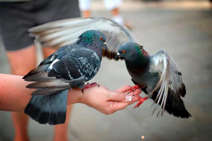 кормит голубя с руки