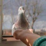 голубь сидит на окне