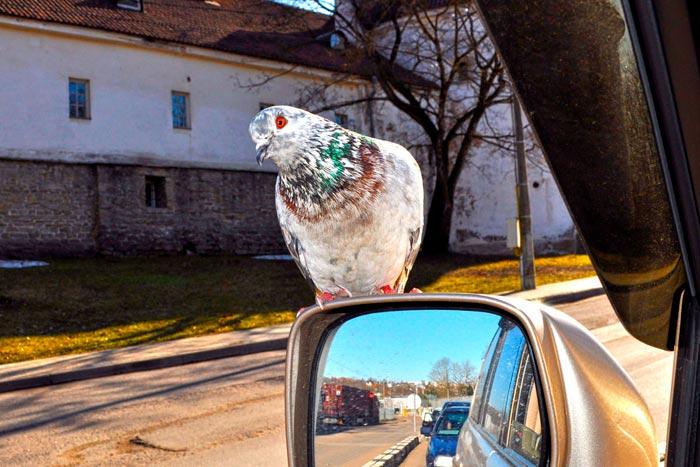 Сбить голубя на машине к чему это