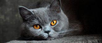 серая кошка