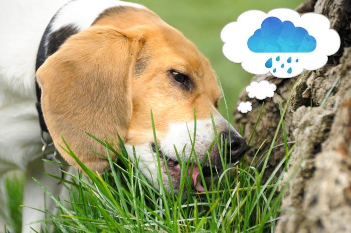 собака жует траву
