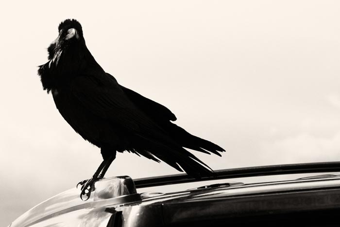 ворона на крыше автомобиля