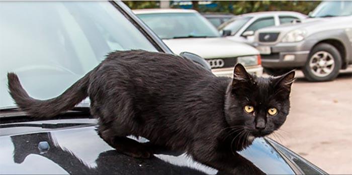 черный кот на машине