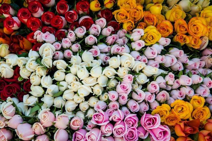цвет роз