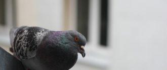 голубь на окне