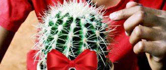 кактус в подарок