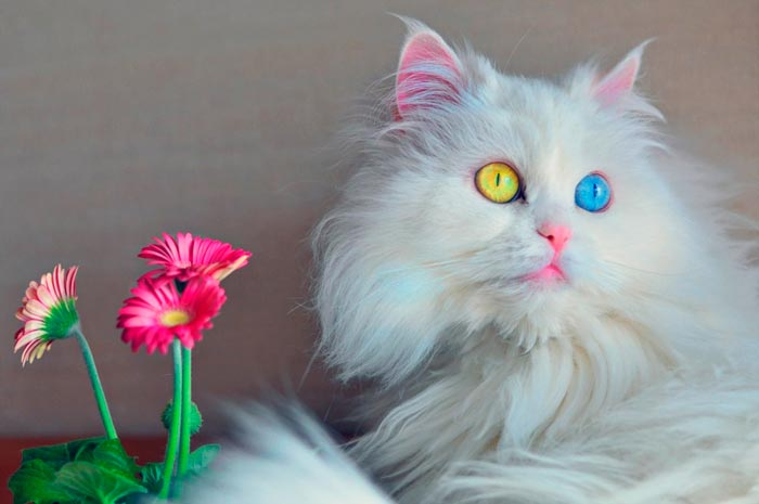 белая кошка с разными глазами