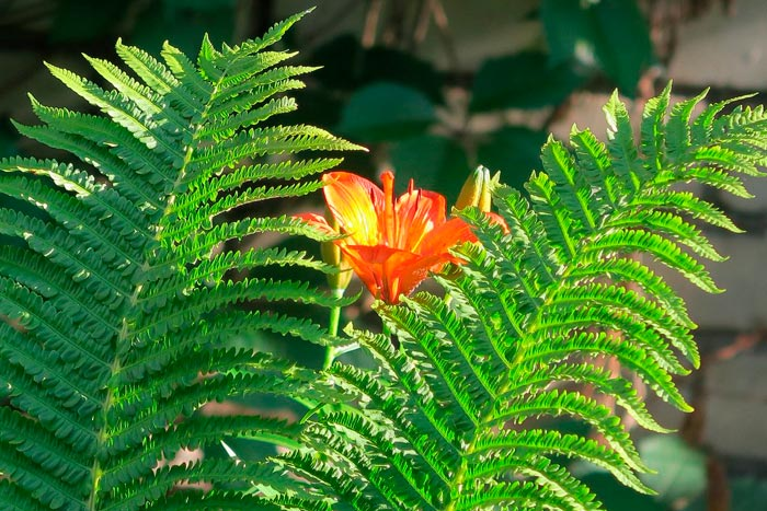 цветение папоротника