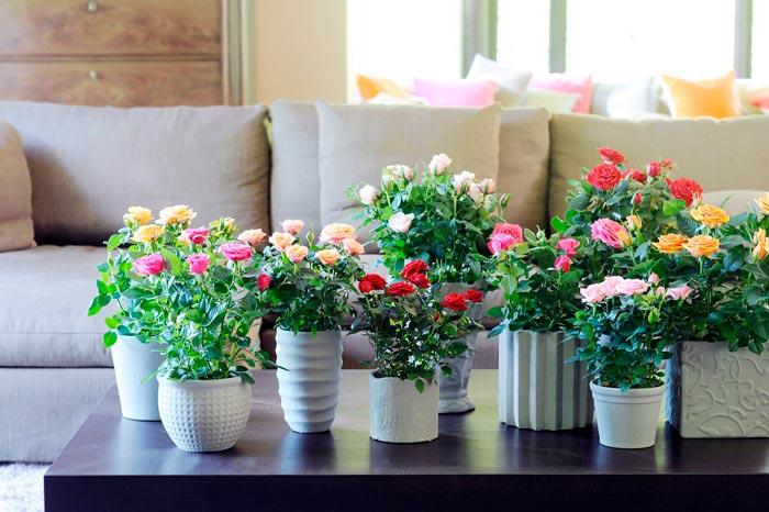 Роза цветок почему нельзя держать дома