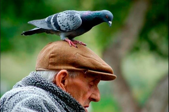 голубь на голове